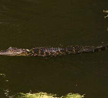 Young Gator Swimming by Dennis Blauer