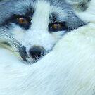 Snow Fox 2 by capizzi