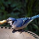 Blue Jay by Eva Saether