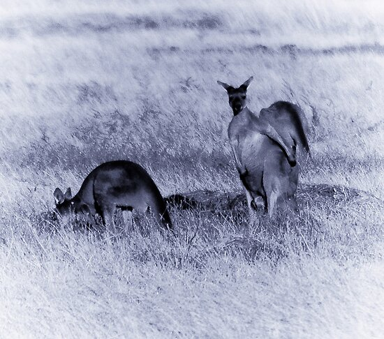 Kangaroos loose in the top paddock by Adrian Kent