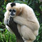 Gibbon at Adelaide Zoo by Mel1973