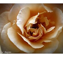 THE ROSE by DANNY HAYES