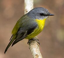 Eastern Yellow Robin by Trish Bell