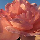 Rose in Bloom by Pamela Jayne Smith