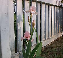 White Picket Fence by Melissa  W