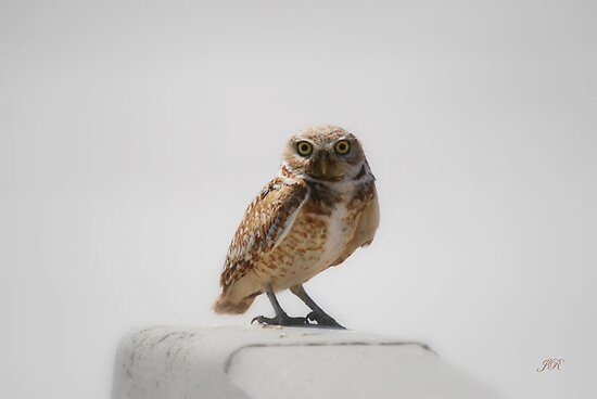 Burrowing Owl by blindwolfspirit