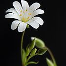 White Daisy by Jeremy Owen