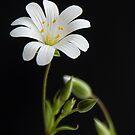 White Daisy by Jeremy Owen