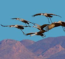 Sandhill Cranes ll by Marvin Collins