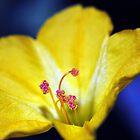 Yellow Four o'Clock by Golden Richard