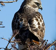 Red Tailed Hawk with a view by lloydsjourney
