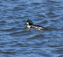 Barrows Goldeneye by lloydsjourney