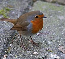 Don't Forget The Robin by Robert Abraham