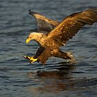 Sea eagle diving by wildlifephoto