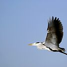 Heron by procapture