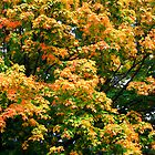 Autumn Maple by Nancy (Peaches) Harker