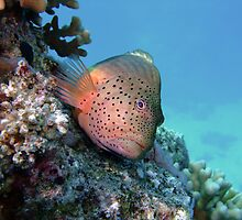 Freckled Hawkfish by lilithlita