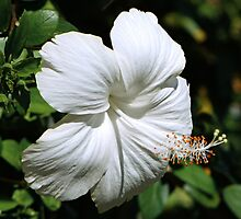 White Hibiscus by Dave Lloyd