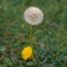 Dandelion by Vivi Kalomiri