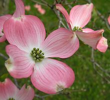 Flowering Dogwood 4 by KateLinden