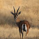 The Chinkara by James Godber