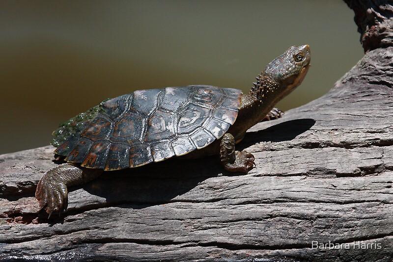 Freshwater Turtle-9580