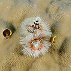 Christmas Tree Worm by Andrew Trevor-Jones
