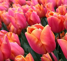 Dutch Pink Tulips Field Spring Flowers Holland by HotHibiscus