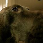 Chocolate Lab by DuranBlakeley
