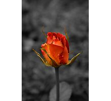 Solitary rose. Photographic Print