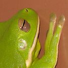 Australian White-Lipped Tree Frog - Litoria infrafrenata by Marilyn Harris