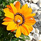 Bright Orange Gazania Flower with Snail by taiche
