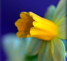 Daffodil flower by flashcompact