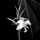 Canna Lily in Black & White by Kitsmumma