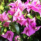 Purple Pink Bougainvillia In Blossom  by taiche