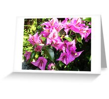 Purple Pink Bougainvillia In Blossom  Greeting Card