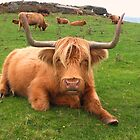Highland Hamish with his long horns   by PICMART