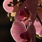 Pink Orchid by Jeremy Owen