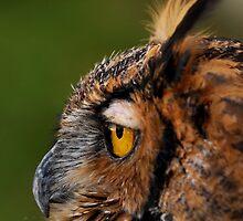 Great Horned Owl by PamelaJoPhoto
