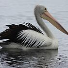 Pelican boating by Kelly Robinson