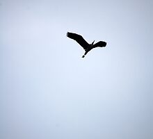 heron in flight by funkybunch