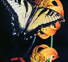 SWALLOWTAIL BUTTERFLY ON LILY by Chuck Wickham