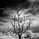 Dead Tree Infrared by Annette Blattman