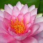 Pink Waterlily by Artlife