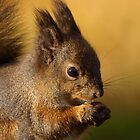 Squirrel by dotweb