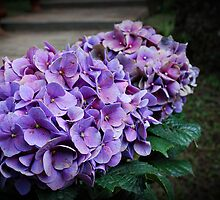 Hydrangeas by midnightowl