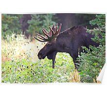 Bull Moose in Velvet Poster