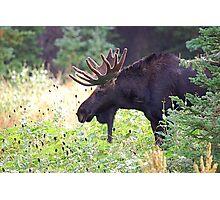 Bull Moose in Velvet Photographic Print