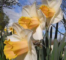 daffodils by bkyshef