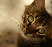 cat in Sifnos, Greece by Asian-Roads